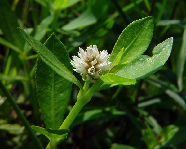 Alternanthera philoxeroides - Wikipedia